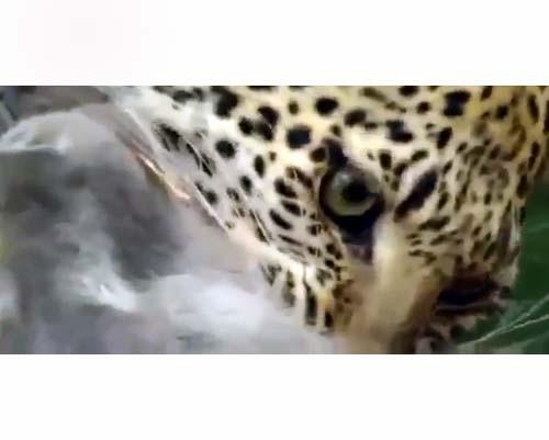 Leoparın İntikamı 3