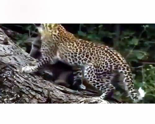 Leoparın İntikamı 7