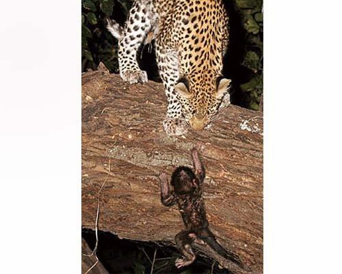Leoparın İntikamı 9