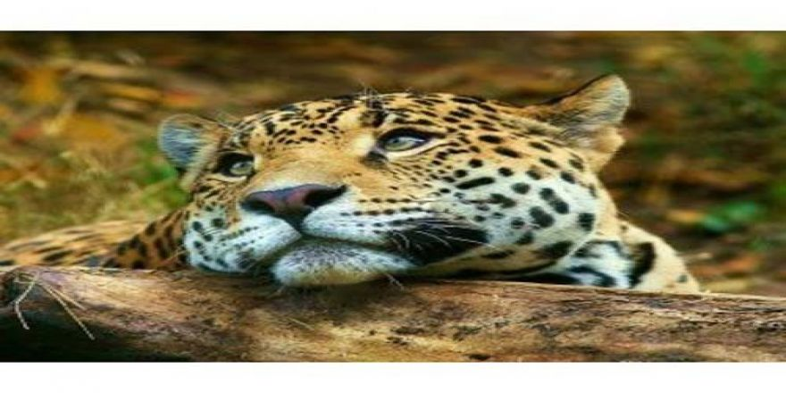 Leoparın İntikamı
