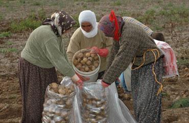 Patates fiyatlarındaki yükseliş sürüyor