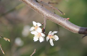 Yalancı bahar doğayı uyandırdı