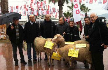 Koyunlu protestoya tepki
