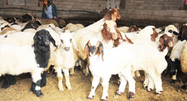 Çobanı bayıltıp koyunları...