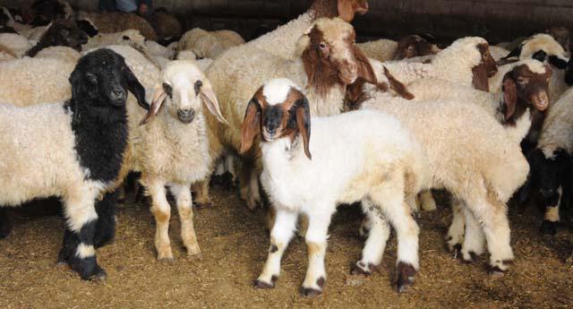 Koyun hırsızları cezaevinde