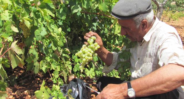 Organik üzümde hasad zamanı