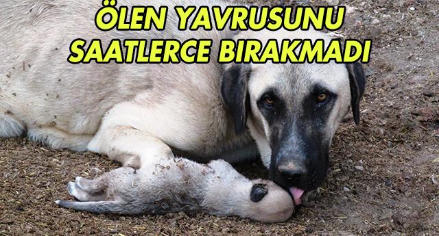 ÖLEN YAVRUSUNU BIRAKMADI