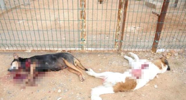 Köpek katliamı