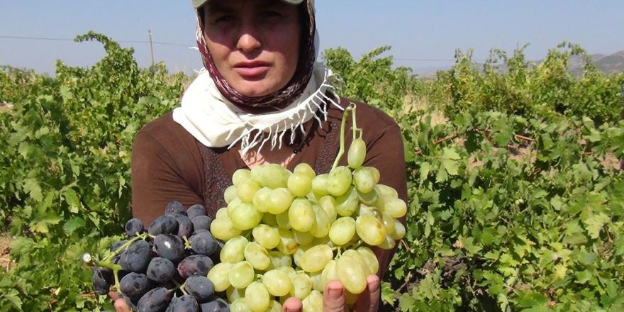 Üzüm yetiştiricilerinin umudu Rusya