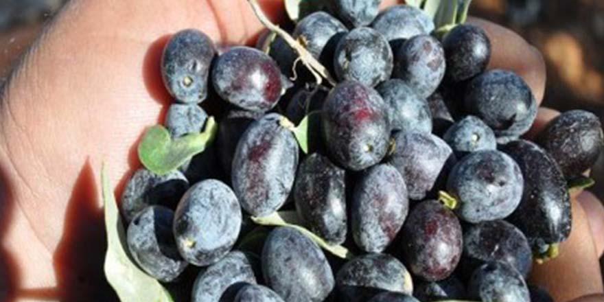 Nizip'in zeytini her yerde