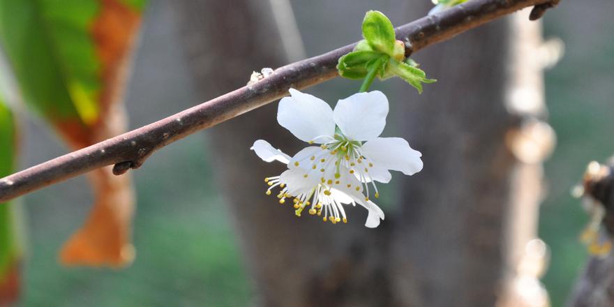 Kiraz ağacı çiçek açtı
