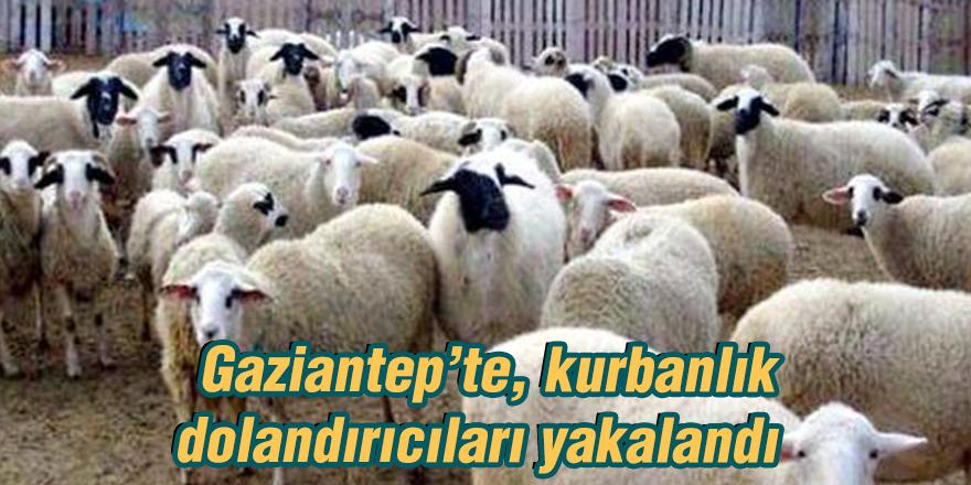 Gaziantep'te, kurbanlık dolandırıcıları yakalandı