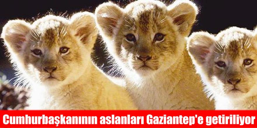 Cumhurbaşkanının aslanları Gaziantep'e getiriliyor