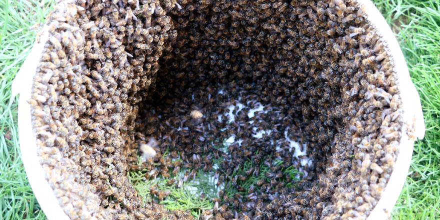 Arılar bulvarı istila etti