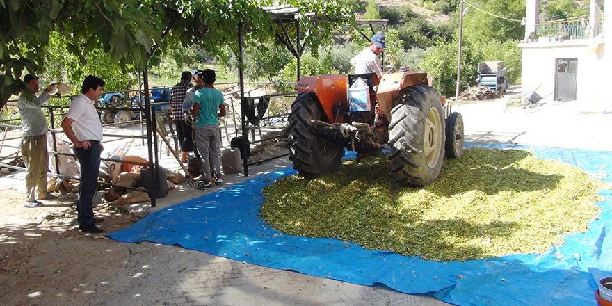 Çilek üreticileri Antep Fıstığına yöneldi