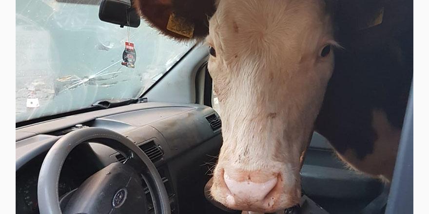 Polisin durdurduğu araçtan inek çıktı