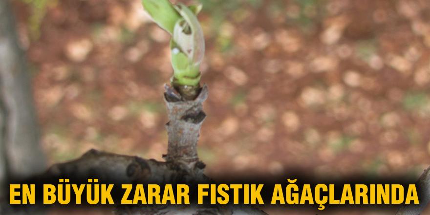 En büyük zarar fıstık ağaçlarında
