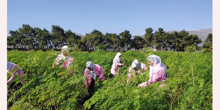 Moringa hasadı başladı