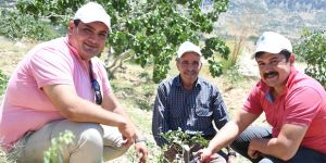 Mersin'de Antep fıstığı üretimi