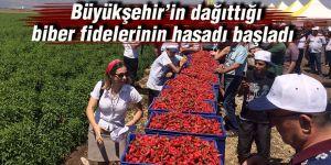 Büyükşehir'in dağıttığı biber fidelerinin hasadı başladı