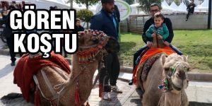 Şehir merkezindeki develere büyük ilgi