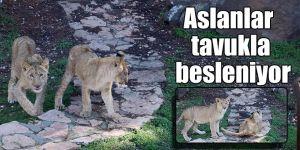 Aslanlar tavukla besleniyor