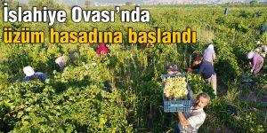 İslahiye Ovası'nda üzüm hasadına başlandı