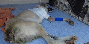 Kuyruğundan sonra ayağını da kaybetti