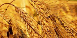 Türkiye'nin buğdayı kendine yeter...