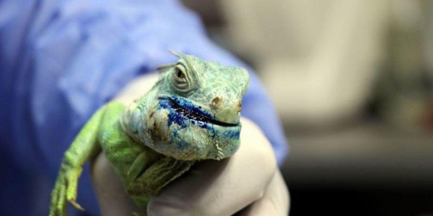 Çenesinde tümör bulunan iguana ameliyat edildi