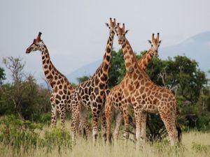 Zürafaya büyük ilgi